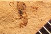 http://mczbase.mcz.harvard.edu/specimen_images/entomology/paleo/large/PALE-2349b_Agathis_velatus_holotype.jpg
