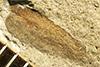 http://mczbase.mcz.harvard.edu/specimen_images/entomology/paleo/large/PALE-234b_Scutinoblattina_recta_syntype_1.jpg