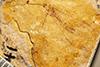 http://mczbase.mcz.harvard.edu/specimen_images/entomology/paleo/large/PALE-241_Tribochrysa_firmata_holotype.jpg