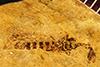 http://mczbase.mcz.harvard.edu/specimen_images/entomology/paleo/large/PALE-244a_Inocellia_tumulata_holotype.jpg