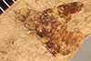 http://mczbase.mcz.harvard.edu/specimen_images/entomology/paleo/large/PALE-2582_Elaphidion_extinctus_holotype_(cp_2583).jpg