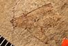 http://mczbase.mcz.harvard.edu/specimen_images/entomology/paleo/large/PALE-2583_Elaphidion_extinctus_holotype_(cp_2582).jpg