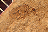 http://mczbase.mcz.harvard.edu/specimen_images/entomology/paleo/large/PALE-2588_Leptura_nanella_holotype.jpg