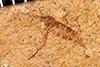 http://mczbase.mcz.harvard.edu/specimen_images/entomology/paleo/large/PALE-25946_Nematocera.jpg