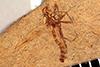 http://mczbase.mcz.harvard.edu/specimen_images/entomology/paleo/large/PALE-25954_Diptera_qm.jpg
