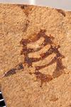 http://mczbase.mcz.harvard.edu/specimen_images/entomology/paleo/large/PALE-25963_Arthropoda.jpg