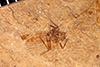 http://mczbase.mcz.harvard.edu/specimen_images/entomology/paleo/large/PALE-25964_Nematocera.jpg