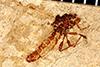 http://mczbase.mcz.harvard.edu/specimen_images/entomology/paleo/large/PALE-25965_Bibionidae.jpg