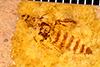 http://mczbase.mcz.harvard.edu/specimen_images/entomology/paleo/large/PALE-25970_Staphylinidae_qm.jpg