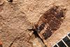 http://mczbase.mcz.harvard.edu/specimen_images/entomology/paleo/large/PALE-2632_Trirhabda_sepulta_holotype_4.jpg