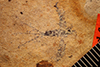 http://mczbase.mcz.harvard.edu/specimen_images/entomology/paleo/large/PALE-264_Ephemera_exsucca_type.jpg