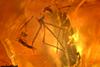 http://mczbase.mcz.harvard.edu/specimen_images/entomology/paleo/large/PALE-26670_Tipulomorpha_qm.jpg