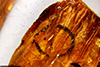 http://mczbase.mcz.harvard.edu/specimen_images/entomology/paleo/large/PALE-26706_Cecidomyiidae_qm_2.jpg