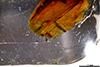 http://mczbase.mcz.harvard.edu/specimen_images/entomology/paleo/large/PALE-26731_Nematocera_2.jpg