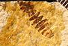 http://mczbase.mcz.harvard.edu/specimen_images/entomology/paleo/large/PALE-26744_Brachycera.jpg