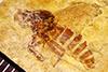 http://mczbase.mcz.harvard.edu/specimen_images/entomology/paleo/large/PALE-26745_Rhagionidae.jpg