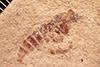 http://mczbase.mcz.harvard.edu/specimen_images/entomology/paleo/large/PALE-26748_Rhagionidae_(cp_33689).jpg