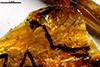 http://mczbase.mcz.harvard.edu/specimen_images/entomology/paleo/large/PALE-26769_Acari_qm_1.jpg