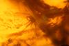 http://mczbase.mcz.harvard.edu/specimen_images/entomology/paleo/large/PALE-26827_Chironomidae_qm.jpg