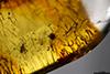 http://mczbase.mcz.harvard.edu/specimen_images/entomology/paleo/large/PALE-26856_Psocoptera.jpg