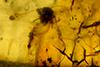 http://mczbase.mcz.harvard.edu/specimen_images/entomology/paleo/large/PALE-26856_syn1_Psocoptera.jpg