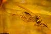 http://mczbase.mcz.harvard.edu/specimen_images/entomology/paleo/large/PALE-26864_syn1_Evaniidae_qm.jpg