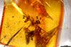 http://mczbase.mcz.harvard.edu/specimen_images/entomology/paleo/large/PALE-26868_Araneae_1.jpg