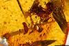 http://mczbase.mcz.harvard.edu/specimen_images/entomology/paleo/large/PALE-26868_Araneae_2.jpg