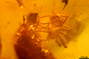 http://mczbase.mcz.harvard.edu/specimen_images/entomology/paleo/large/PALE-26868_syn1_Araneae.jpg