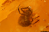 http://mczbase.mcz.harvard.edu/specimen_images/entomology/paleo/large/PALE-26890_Araneae.jpg