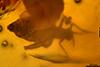 http://mczbase.mcz.harvard.edu/specimen_images/entomology/paleo/large/PALE-26898_Nematocera.jpg