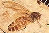 http://mczbase.mcz.harvard.edu/specimen_images/entomology/paleo/large/PALE-27054_Bibio_wickhami.jpg