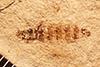 http://mczbase.mcz.harvard.edu/specimen_images/entomology/paleo/large/PALE-27064_Bibio_wickhami.jpg