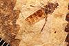 http://mczbase.mcz.harvard.edu/specimen_images/entomology/paleo/large/PALE-27067_Bibio_wickhami.jpg