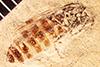 http://mczbase.mcz.harvard.edu/specimen_images/entomology/paleo/large/PALE-27081_Bibio_wickhami.jpg