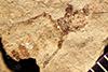 http://mczbase.mcz.harvard.edu/specimen_images/entomology/paleo/large/PALE-27094_Bibio_wickhami.jpg