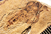 http://mczbase.mcz.harvard.edu/specimen_images/entomology/paleo/large/PALE-27098_Asilus_sp.jpg