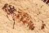 http://mczbase.mcz.harvard.edu/specimen_images/entomology/paleo/large/PALE-27114_Bibio_wickhami.jpg