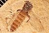 http://mczbase.mcz.harvard.edu/specimen_images/entomology/paleo/large/PALE-27118_Bibio_wickhami.jpg