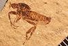 http://mczbase.mcz.harvard.edu/specimen_images/entomology/paleo/large/PALE-27120_Bibio_wickhami.jpg