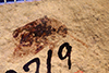 http://mczbase.mcz.harvard.edu/specimen_images/entomology/paleo/large/PALE-2719_Diabrotica_qm_2.jpg