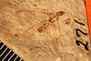 http://mczbase.mcz.harvard.edu/specimen_images/entomology/paleo/large/PALE-271_Eutermes_fossarum_type.jpg