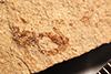 http://mczbase.mcz.harvard.edu/specimen_images/entomology/paleo/large/PALE-27201_Ophioninae.jpg