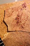 http://mczbase.mcz.harvard.edu/specimen_images/entomology/paleo/large/PALE-27207_Formicidae.jpg
