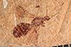 http://mczbase.mcz.harvard.edu/specimen_images/entomology/paleo/large/PALE-27309_Protazteca_elongata.jpg