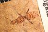 http://mczbase.mcz.harvard.edu/specimen_images/entomology/paleo/large/PALE-27317_Protazteca_elongata.jpg