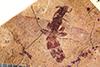 http://mczbase.mcz.harvard.edu/specimen_images/entomology/paleo/large/PALE-27341_Protazteca_elongata.jpg