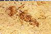 http://mczbase.mcz.harvard.edu/specimen_images/entomology/paleo/large/PALE-27359a_Aphaenogaster_mayri.jpg