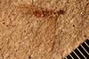 http://mczbase.mcz.harvard.edu/specimen_images/entomology/paleo/large/PALE-273_Eutermes_fossarum_type.jpg
