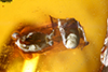 http://mczbase.mcz.harvard.edu/specimen_images/entomology/paleo/large/PALE-27693_syn5_Formicidae.jpg